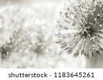 close up of an alium gigantium...