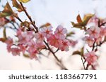 sakura flowers  on sky | Shutterstock . vector #1183667791