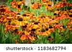 beautiful orange coneflower in... | Shutterstock . vector #1183682794