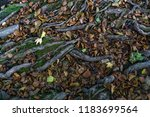 the roots of a tree in autumn   Shutterstock . vector #1183699564