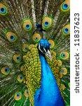 Beautiful Male Indian Peacock...