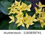 beautiful  spike  flower ... | Shutterstock . vector #1183858741