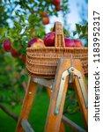 freshly picked ripe apples in a ... | Shutterstock . vector #1183952317