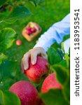 freshly picked ripe apples in... | Shutterstock . vector #1183953541