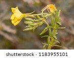oenothera biennis  commonly... | Shutterstock . vector #1183955101