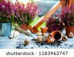 bulbs of flowers ready for... | Shutterstock . vector #1183963747