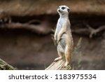 suricata standing on a guard....   Shutterstock . vector #1183975534