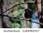 A Blackbird Resting On A Branch.