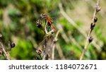 dragonflie on leaves | Shutterstock . vector #1184072671
