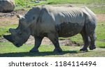 the  white rhinoceros or square ... | Shutterstock . vector #1184114494