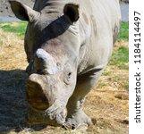 the  white rhinoceros or square ... | Shutterstock . vector #1184114497