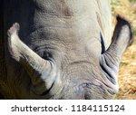 ears of the white rhinoceros or ... | Shutterstock . vector #1184115124