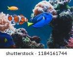 Aquarium Fish Blue Surgeonfish...