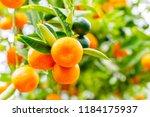 Orange Calamondine Fruits  And...