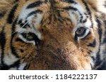 siberian tiger is a population... | Shutterstock . vector #1184222137