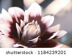 colorful blossoming flower in... | Shutterstock . vector #1184239201