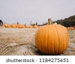 single pumpkin in pumpkin patch   Shutterstock . vector #1184275651