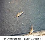 lepisma on the tattered cover... | Shutterstock . vector #1184324854