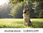 Young German Shepherd Sitting...