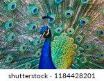 Peacock Beautiful Bird Tail...