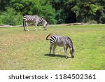 two zebras in middle of green... | Shutterstock . vector #1184502361