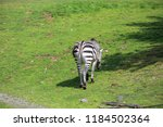 zebra in middle of green field | Shutterstock . vector #1184502364