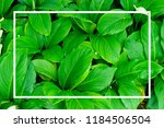 green leaves natural background ... | Shutterstock . vector #1184506504