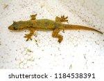 lizard in the house  white... | Shutterstock . vector #1184538391