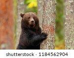 big brown bear standing leaning ... | Shutterstock . vector #1184562904