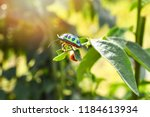 colorful of jewel beetle green...   Shutterstock . vector #1184613934