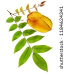 leaves and ripe fruit of... | Shutterstock . vector #1184624341