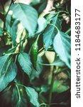 beautiful pepper in the garden. | Shutterstock . vector #1184683177