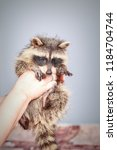 funny little young raccoon in...   Shutterstock . vector #1184704744
