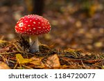 One Red Fly Mushroom Or...