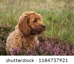 Stock photo a young red cockapoo puppy enjoying being amongst the heather in a local area 1184737921