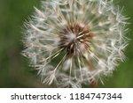 white fluffy ball of dandelion... | Shutterstock . vector #1184747344