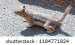 Chipmunk On Rock Near Gibbon...