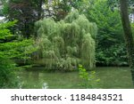 Willow Tree Over A Green Pond...