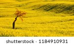 Rapeseed Yellow Field And...