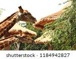 many giraffes eat leaves... | Shutterstock . vector #1184942827