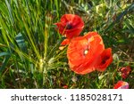 Two Red Poppy Flowers In The...