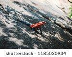 agama lizard in tanzani  africa  | Shutterstock . vector #1185030934