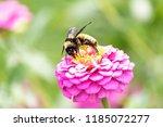 Bumblebee Pollinating Pretty...