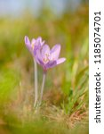 colchicum autumnale  commonly... | Shutterstock . vector #1185074701