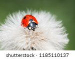 A Ladybug On A Fluffy Plants In ...