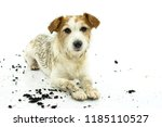 Stock photo dirty jack russell dog lying down after play in a mud puddle isolated on white background studio 1185110527