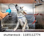 Stock photo funny photo of a dog shaking off water from a bath by a professional groomer with droplets flying 1185112774