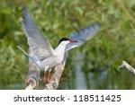 common tern shaking wings | Shutterstock . vector #118511425