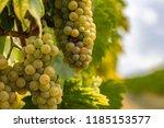 yellow grapes in vineyard   Shutterstock . vector #1185153577