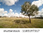 solitary conifer standing in... | Shutterstock . vector #1185197317